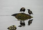 Nebelkrähen bei Futtersuche am Meer, Corvus corone