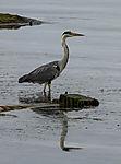 Grey Heron at the sea, Ardea cinerea