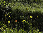 flowering Poppy, Papaver sp.