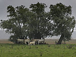 Cows under trees in rain and wind