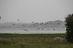 Schwarm Weißwangengänse auf Insel Ummanz, Branta leucopsis