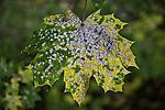 sick leaf of Maple in autumn