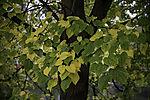 Lime tree in autumn, Tilia sp.