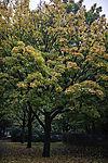 Maple in autumn, Acer sp.