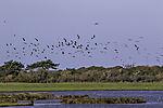swarm Lapwings on island Hiddensee, Vanellus vanellus