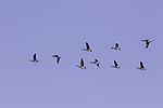 Canada Geese in flight, Branta canadensis