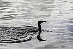 Cormorant with prey, Phalacrocorax carbo