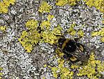 Dark Bumblebee on tree stem; Bombus terrestris