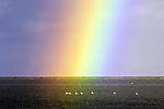 Höckerschwäne unter Regenbogen, Cygnus olor