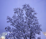 verschneite Birke, Betula sp.