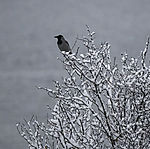 Nebelkrähe auf verschneitem Baum
