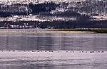 swarm Eider Ducks befor island Grindöya, Somateria mollissima