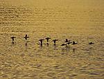 Eider Ducks in morning light, Somateria mollissima