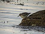 Purple Sandpiper looking for food, Calidris maritima