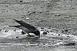 Carrion Crow drinking on puddle, Corvus corone