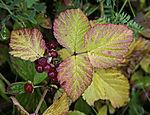 Stone Bramble, Rubus saxatilis