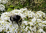 Dark Bumble Bee on Hogweed blossom, Bombus terrestris, Heracleum sp.