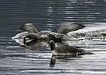 Red-throated Diver landing with fish, Gavia stellata