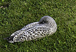 sleeping young Seagull