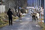 Reindeer on sidewalk, Rangifer tarandus