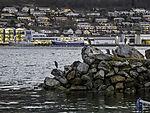 Graureiher im Hafen von  Tromsö