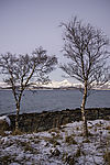Birken am Meer, Betula sp.