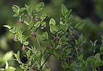 flowering Blueberry, Vaccinium myrtillus