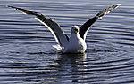 Great Black-backed Gull starting, Larus marinus