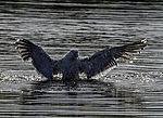 Great Black-backed Gull bathing; Larus marinus
