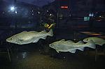 Dorsche im Aquarium im Cafe, Gadus morhua
