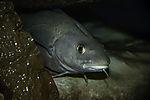 Dorsche im Aquarium Portrait, Gadus morhua