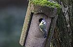 Blue Tit on nesting box with eye contact, Parus caeruleus
