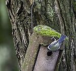 Blue Tit looking in nesting box, Parus caeruleus