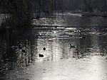 Mallard pond in winter, Anas platyrhynchos
