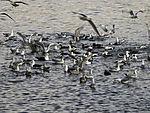Schwarm Enten und Möwen in Tromsö
