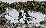 Magpies on beach, Pica pica