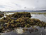 Bladder Wrack on stones at low tide, Fucus vesiculusus