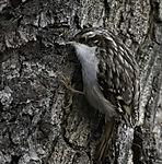 Short-toed Treecreeper looking for food, Certhia brachydactyla