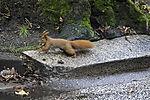 Eurasian Red Squirrel jumping, Sciurus vulgaris