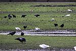 Schwarm Lachmöwen und Saatkrähen bei Futtersuche, Larus ridibundus, Corvus frugilegus