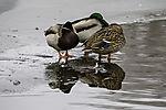 schlafende Stockenten auf dem Eis, Anas platyrhynchos