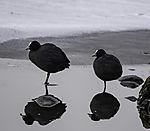 Bleßrallen auf dem Eis; Fulica atra