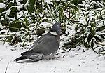 Ringeltaube schluckt Futter im Schnee; Columba palumbus