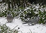 Ringeltauben im Schnee; Columba palumbus