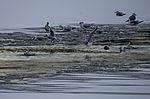 Lachmöwen auf dem Eis, Larus ridibundus