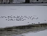 Lachmöwen rasten auf dem Eis, Larus ridibundus