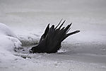Rabenkrähe badet im Eisloch, Corvus corone