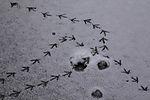 Spuren vom Graureiher auf Eis, Ardea cinerea