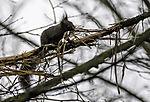 Eichhörnchen sammelt Polstermaterial für seinen Bau, Sciurus vulgaris