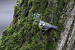Augenkontakt mit Blaumeise, Cyanistes caeruleus